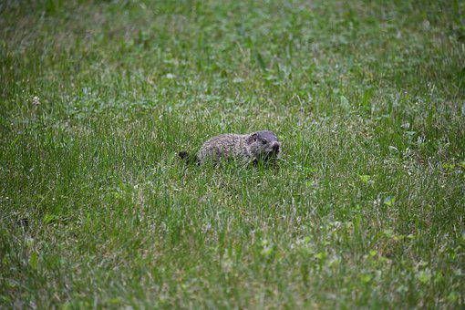 Groundhog, Woodchucks, Rodent, Baby, Pup, Kit, Cub