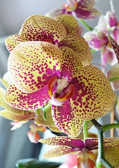 Yellow Red Orchid, Orchid Plants, Flower, Orchide