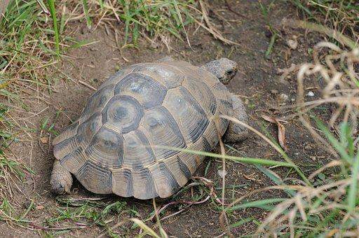 Turtle, Tortoise, Moorish, Reptile, Animal, Armored