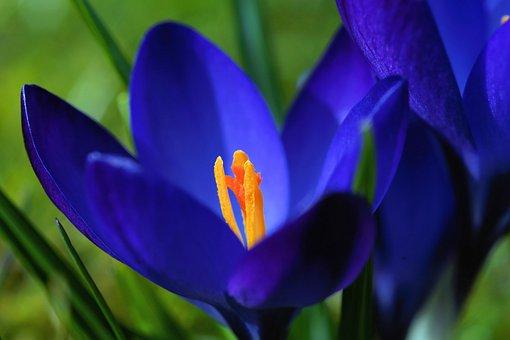 Crocus, Blossom, Bloom, Flower, Spring, Close