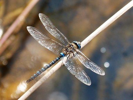 Dragonfly, Blue Dragonfly, Anax Imperator, Wetland