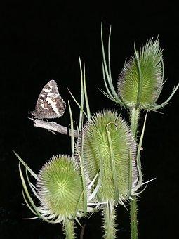 Butterfly, Moorish King, Teasel, Thistle