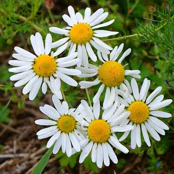 Chamomile, Flowers, Chamomile Blossoms, Bloom, White