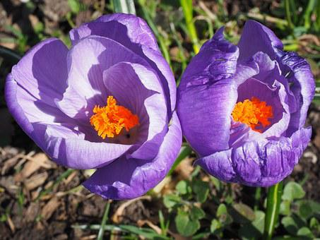 Crocus, Spring, Bühen, Violet, Purple, Colorful