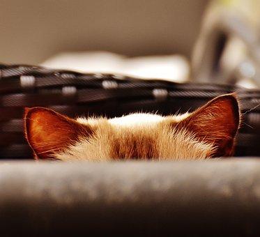 Cat, Ears, Hidden, Funny, Domestic Cat, Pet, Mieze