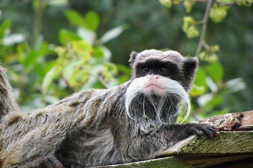 Emperor Tamarin, Monkey, Little Monkey, Mustache