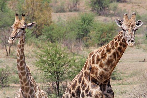 Giraffes, Exciting, Adventure, Safaris, Scenic