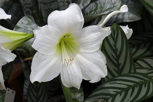 White Lily, Flower, Floral, Botanical, Garden, Plant