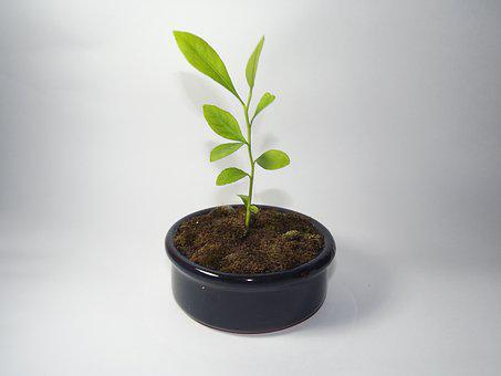 Lemon, Tiny Tree, Studio, Fresh, Natural, Plant, Leaves