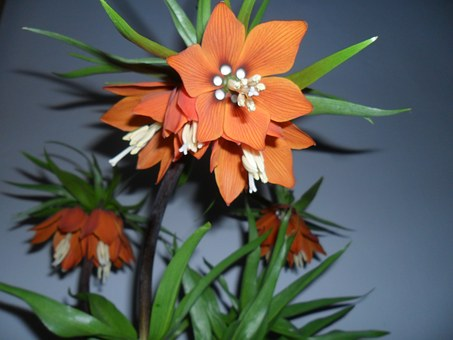 Easter Flower, Fritillaria Imperialis, Mr Tear, Tulipan