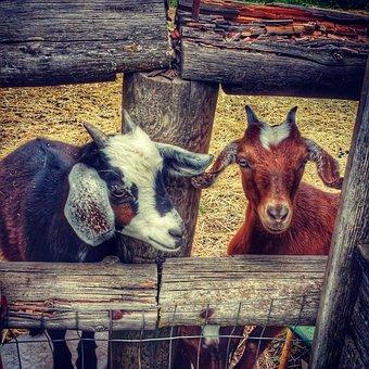 Goats, Hood River Oregon, Fruit Loop, Mt Hood, Oregon