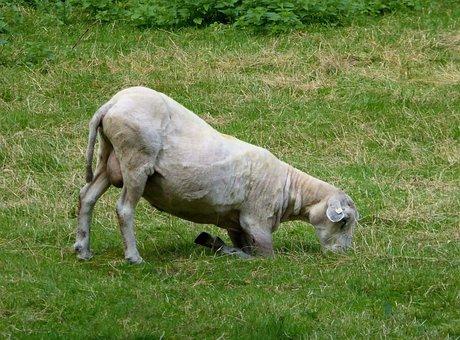 Sheep, Graze, Shorn, Livestock, Agriculture