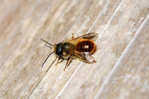 Red Mason Bee, Osmia Rufa, Bee, Solitary, Small, Insect