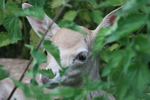 Roe Deer, Hirsch, Fawn, Kitz, Baby, Young, Bambi