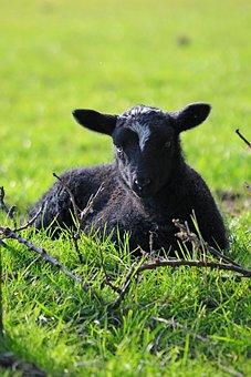 Spring, Lambs, Sheep, Black Fur, White Forhead, Spot