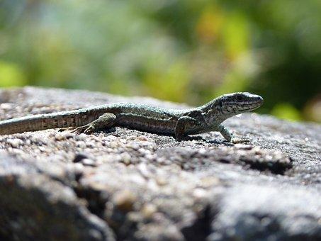 Lizard, Reptile, Green, Brown, Scale, Nature, Stone