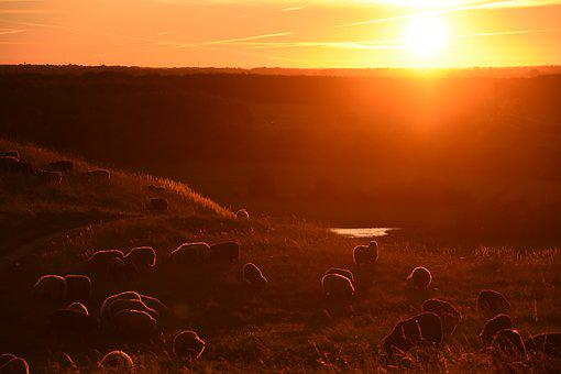 Sunset, Sheep, Nature, Field, Animal, Livestock