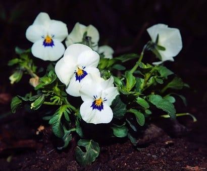 Pansy, White, Flowers, Violaceae, Close, Plant