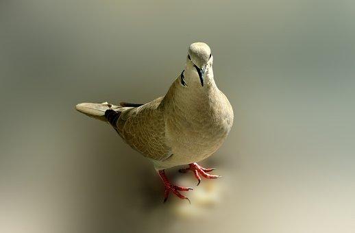 Dove, Bird, Poses, Pose, Messenger, Cover, Pen
