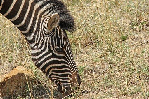 Zebra, Exciting, Adventure, Safaris, Scenic, Beautiful