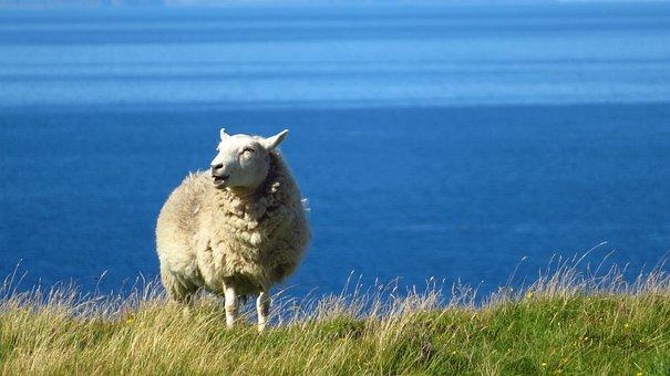 Sheep, Sea, Grass, Bleat, Wool, Bank, Sky, Coast, Blue