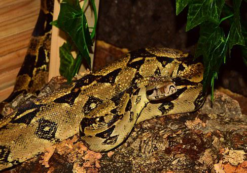 Emperor Snake, Boa, Snake, Boa Imperator, Lurking