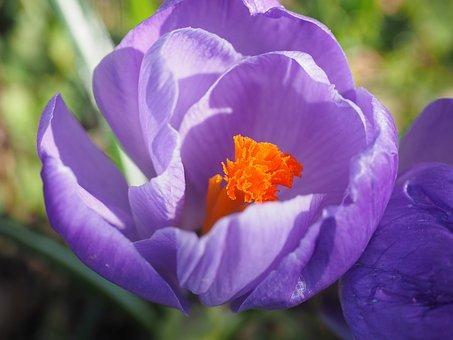 Stamens, Stamp, Crocus, Spring, Bühen, Violet, Purple