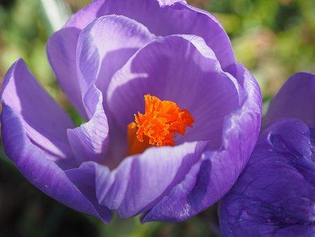 Crocus, Flower, Spring, Stamp, Bühen, Violet, Purple