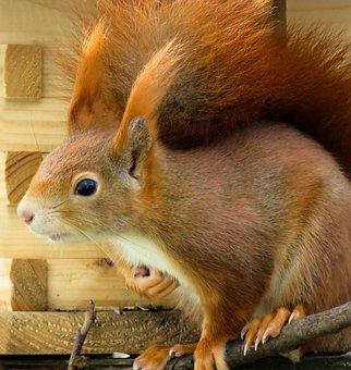 Animal, Squirrel, Verifiable Kitten, Possierlich