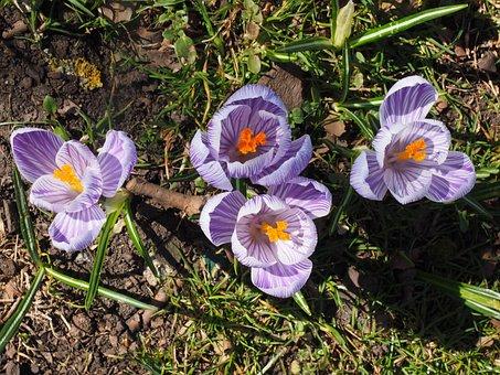 Crocus, Flower, Spring, Bühen, Violet, Purple, Striped
