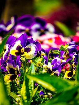 Blossom, Bloom, Bühen, Violet, Violaceae, Spring Flower