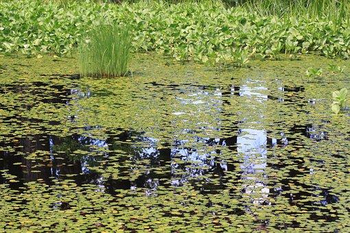 Water Surface, Waterweed, Real Image, Virtual Image