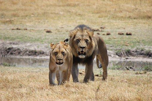 Lion, Lioness, Predator, Cat, Wildcat, Africa