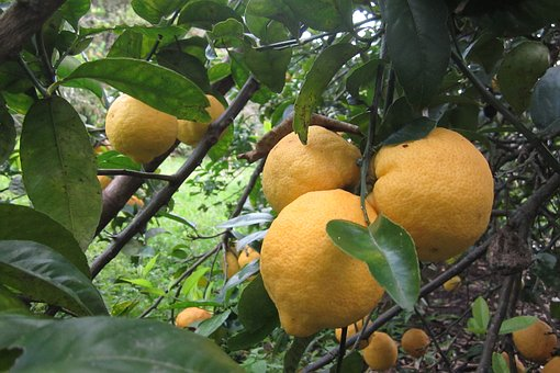 Lemon, Tree, Fruit, Fruit Tree, Yellow, Nature, Citric