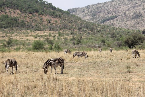 Zebras, Exciting, Adventure, Safaris, Scenic, Beautiful