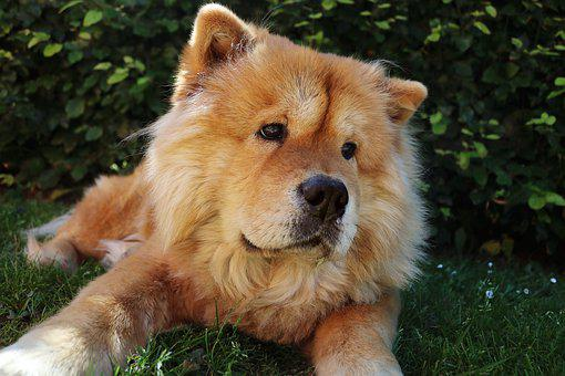 Chow Chow, Dog, Pet, Cute, Chow-chow, Chow, Adorable