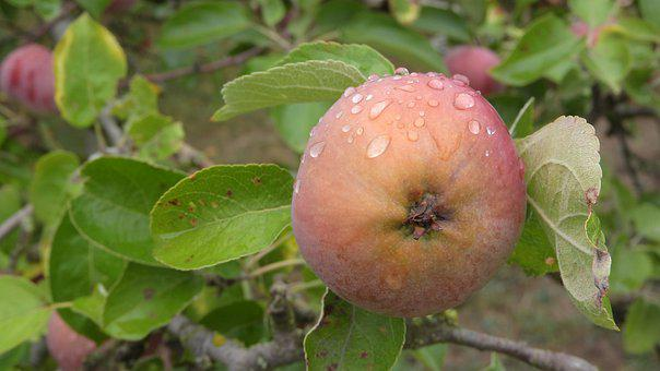 Apple, Dewy Apple, Cultivation, Sets, Agriculture