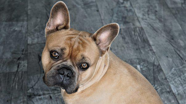 French Bulldog, Dog, Cute, Sweet, Animal