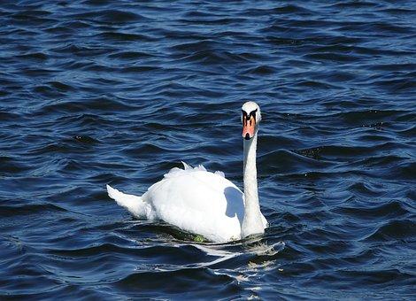 Swan, Bird, White, Animal, Animal World, Lake, Park