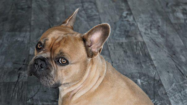 French Bulldog, Dog, Animal, Pet, Animal Portrait