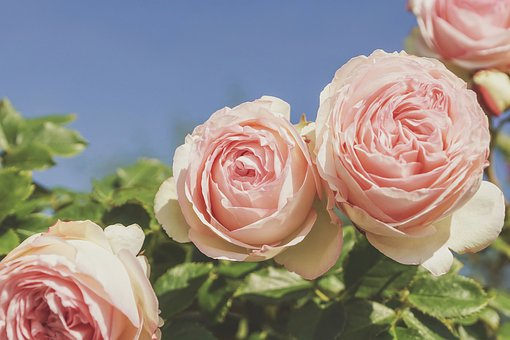 Roses, Fragrance, Pink, Salmon, Bush Roses, Beauty