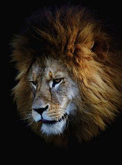 Lion, Lion Head, Big Cat, Predator, Wild Animal, Male