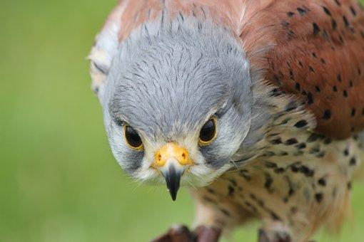 Kestrel, Bird, Prey, Hunter, Wildlife, Closeup