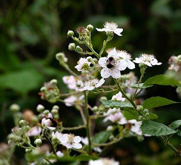 Blackberry Blossom, Blossom, Bumblebee, Blackberry