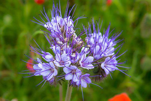 Phacelia, Blossom, Bloom, Bees, Bee Friend
