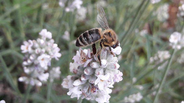 Bee, Honey Bee, Lavender, Biodiversity, Insect, Blossom