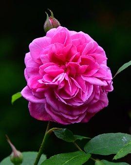 Rose, Flower Pink, Leaf, Leaves, Bloom, Blossom, Plant