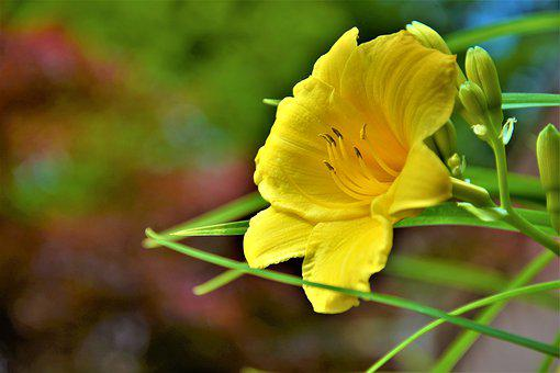 Flower, Lilly, Yellow, Bloom, Blossom, Buds, Closeup