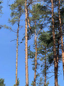 Blue Sky, Atmosphere, Still, Color, Out, Tree, Pine