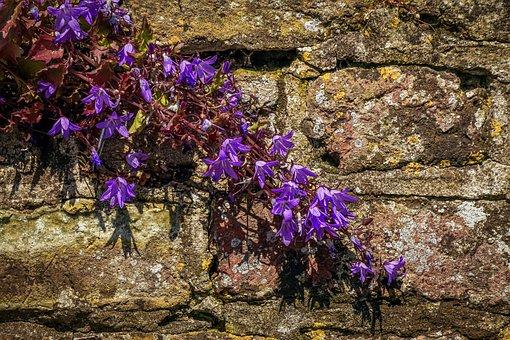 Wall, Wallflower, Zymbelkraut, Violet, Cracks, Blossom